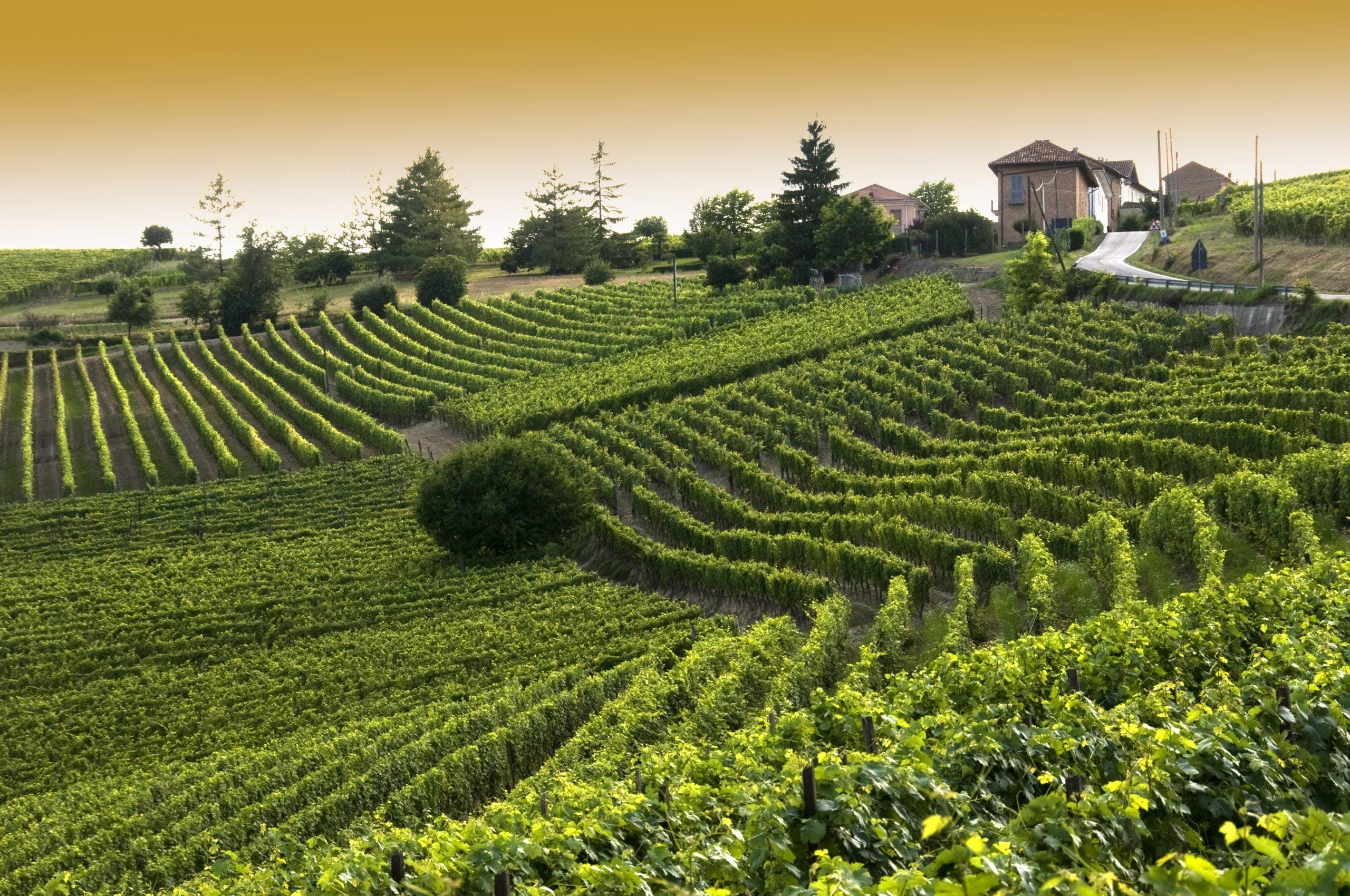 Typische Barbera wijngaard